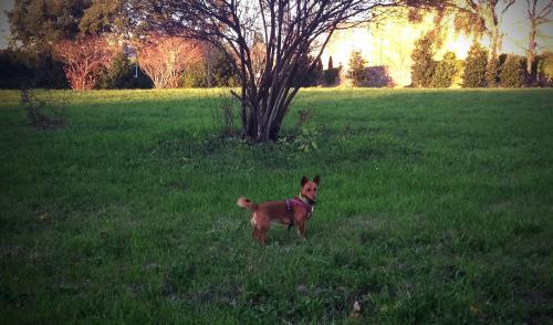 cão amarante 1