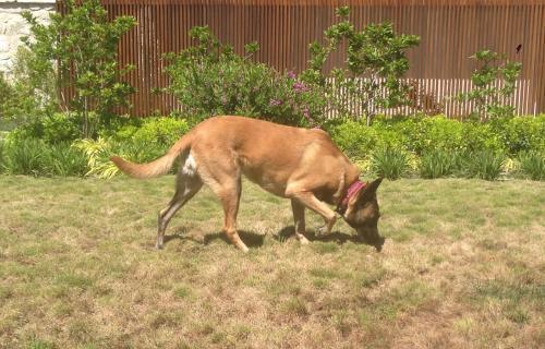 cão guimarães 1